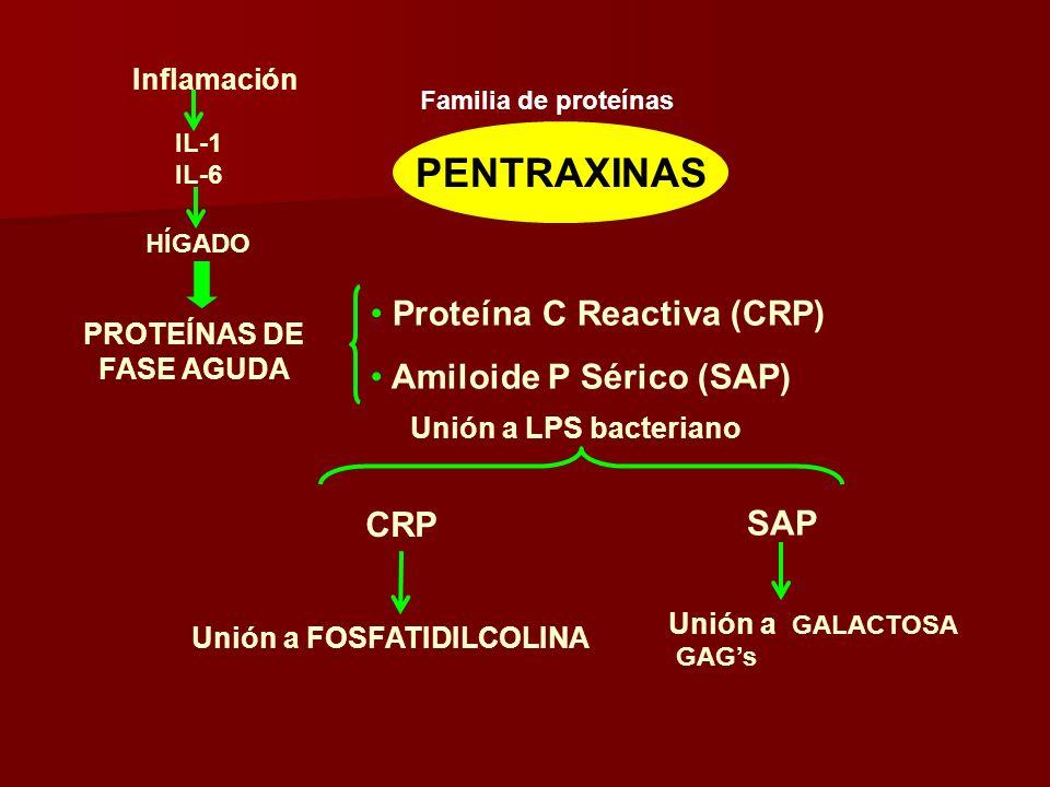 PENTRAXINAS Proteína C Reactiva (CRP) Amiloide P Sérico (SAP) PROTEÍNAS DE FASE AGUDA Unión a LPS bacteriano Inflamación IL-1 IL-6 HÍGADO CRP SAP Unió
