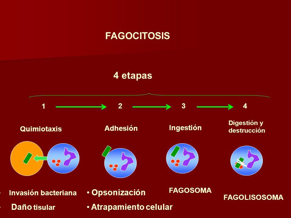 FAGOCITOSIS 4 etapas 1 Quimiotaxis 2 Adhesión 3 Ingestión 4 Digestión y destrucción Invasión bacteriana Daño tisular Opsonización Atrapamiento celular