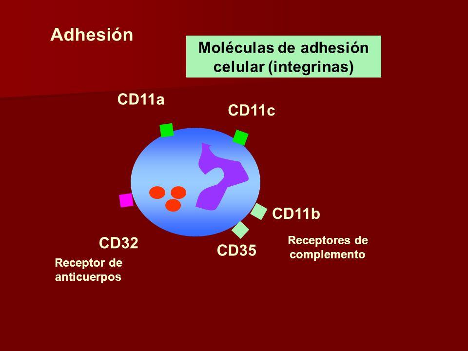 CD35 CD32 CD11a Receptor de anticuerpos Moléculas de adhesión celular (integrinas) CD11c CD11b Adhesión Receptores de complemento