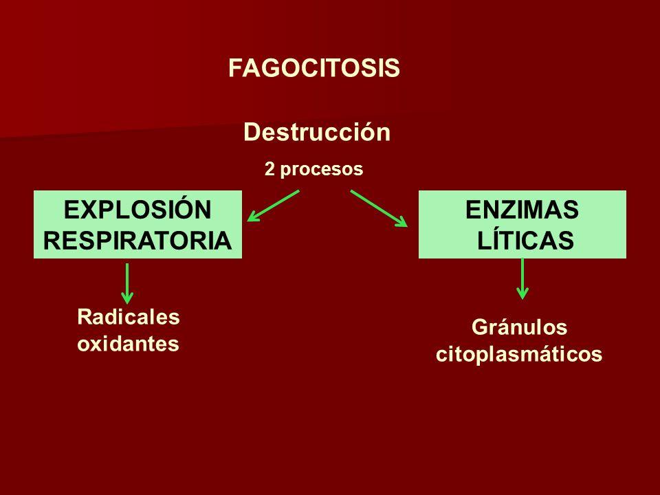 EXPLOSIÓN RESPIRATORIA Y CD32 Bacteria Oxidasa de NADPH activación NADPHNADP + 2O 2 2.O 2 - 2e - 2H 2 OH2O2H2O2 Dismutasa de superóxido Cl - Mieloperoxidasa OCl - El H 2 O 2 es transformado en compuesto bactericida por acción de la mieloperoxidasa
