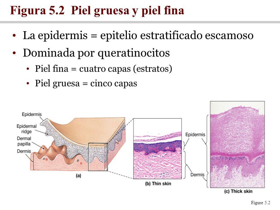 La epidermis = epitelio estratificado escamoso Dominada por queratinocitos Piel fina = cuatro capas (estratos) Piel gruesa = cinco capas Figura 5.2 Pi