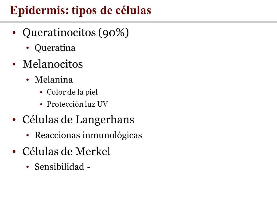 Epidermis: tipos de células Queratinocitos (90%) Queratina Melanocitos Melanina Color de la piel Protección luz UV Células de Langerhans Reaccionas in