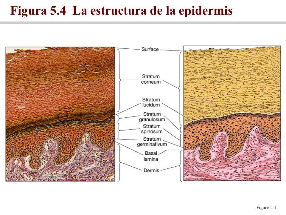 Figura 5.4 La estructura de la epidermis Figure 5.4