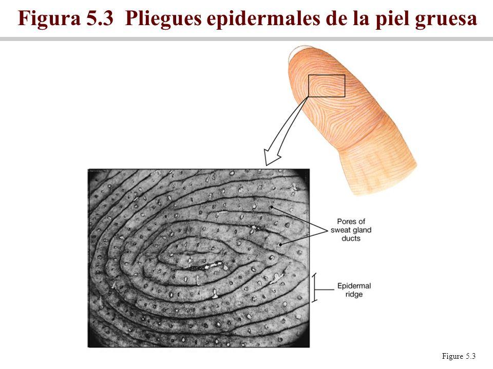Figure 5.3 Figura 5.3 Pliegues epidermales de la piel gruesa