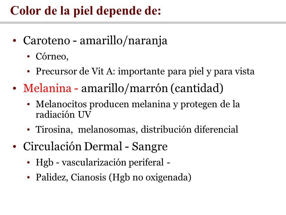 Caroteno - amarillo/naranja Córneo, Precursor de Vit A: importante para piel y para vista Melanina - amarillo/marrón (cantidad) Melanocitos producen m