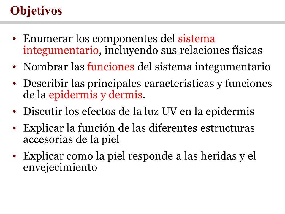 Objetivos Enumerar los componentes del sistema integumentario, incluyendo sus relaciones físicas Nombrar las funciones del sistema integumentario Desc