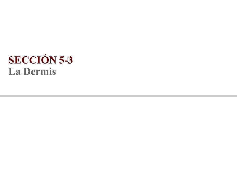 SECCIÓN 5-3 La Dermis