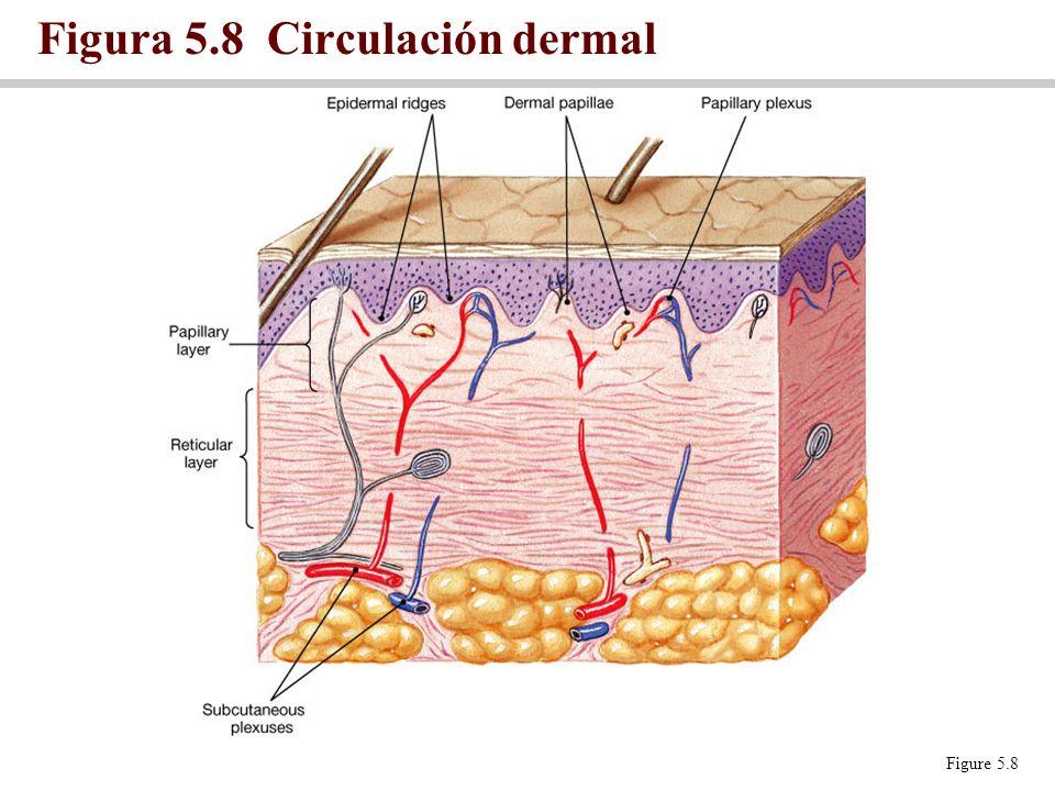 Figura 5.8 Circulación dermal Figure 5.8