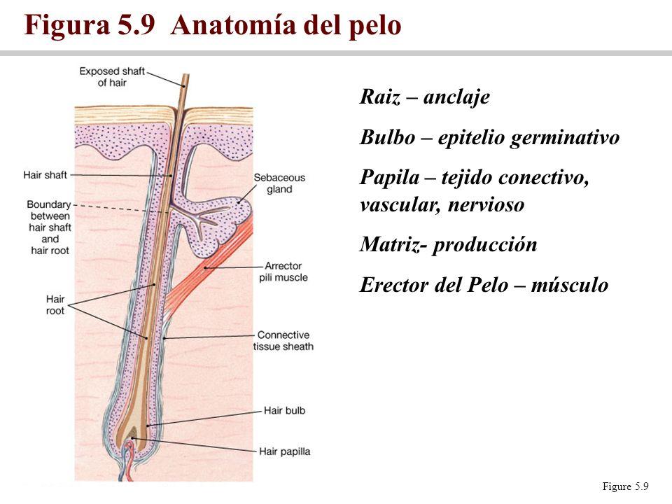 Figura 5.9 Anatomía del pelo Figure 5.9 Raiz – anclaje Bulbo – epitelio germinativo Papila – tejido conectivo, vascular, nervioso Matriz- producción E