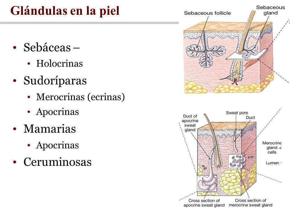 Sebáceas – Holocrinas Sudoríparas Merocrinas (ecrinas) Apocrinas Mamarias Apocrinas Ceruminosas Glándulas en la piel