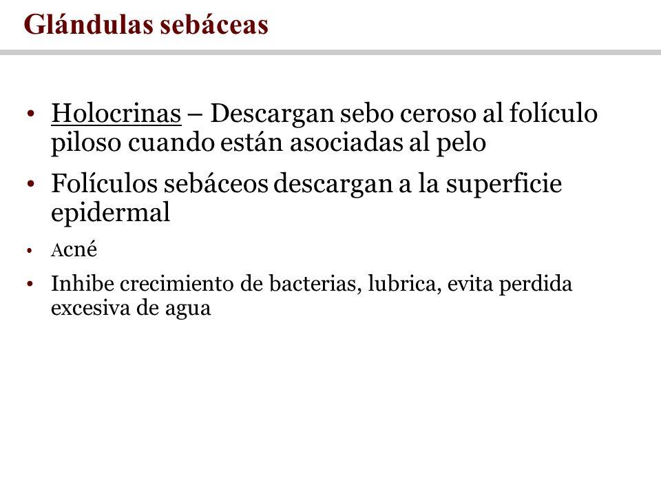 Holocrinas – Descargan sebo ceroso al folículo piloso cuando están asociadas al pelo Folículos sebáceos descargan a la superficie epidermal A cné Inhi