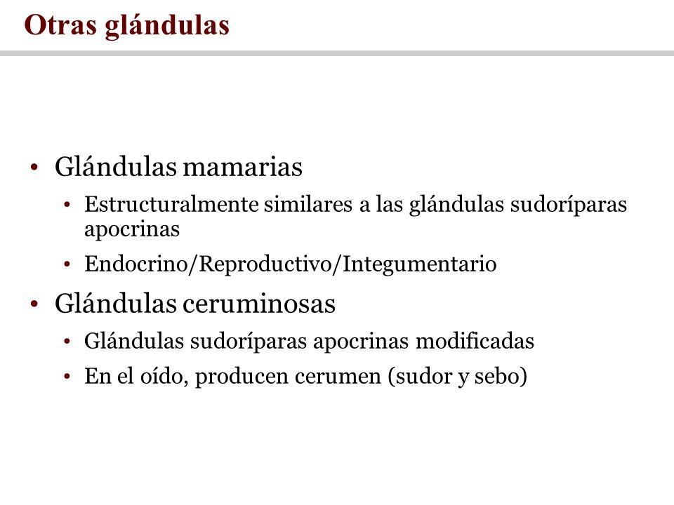 Glándulas mamarias Estructuralmente similares a las glándulas sudoríparas apocrinas Endocrino/Reproductivo/Integumentario Glándulas ceruminosas Glándu