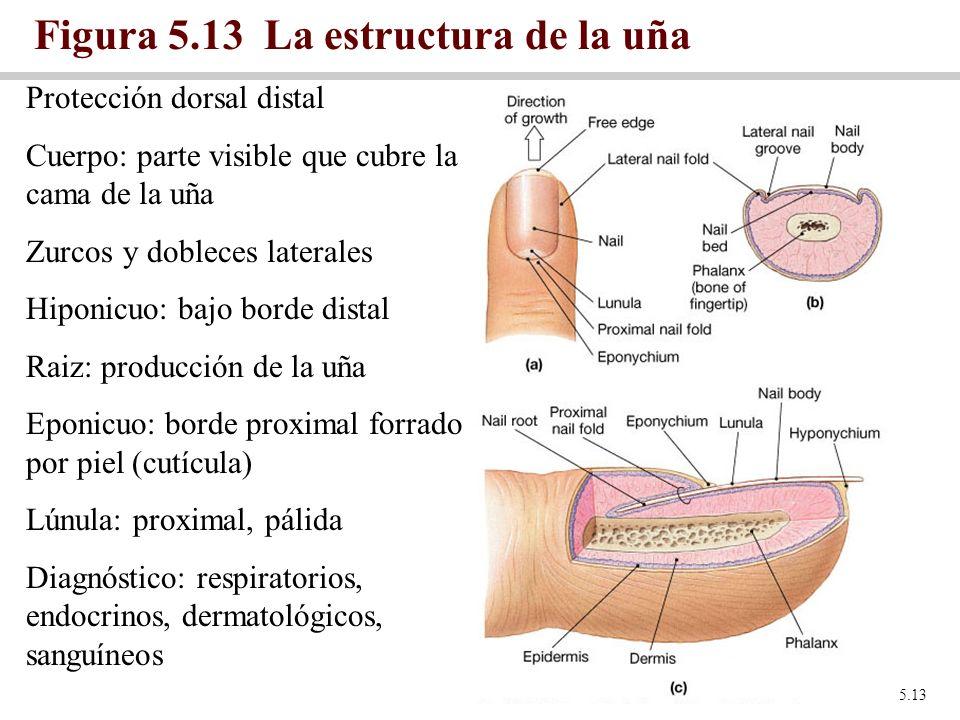 Figura 5.13 La estructura de la uña Figure 5.13 Protección dorsal distal Cuerpo: parte visible que cubre la cama de la uña Zurcos y dobleces laterales