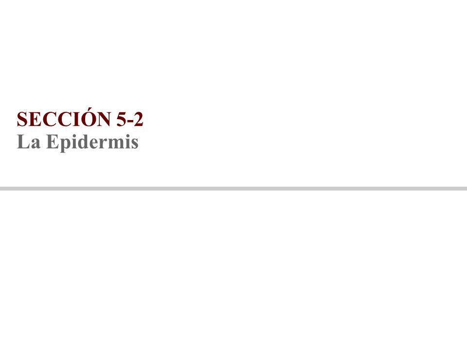 SECCIÓN 5-2 La Epidermis