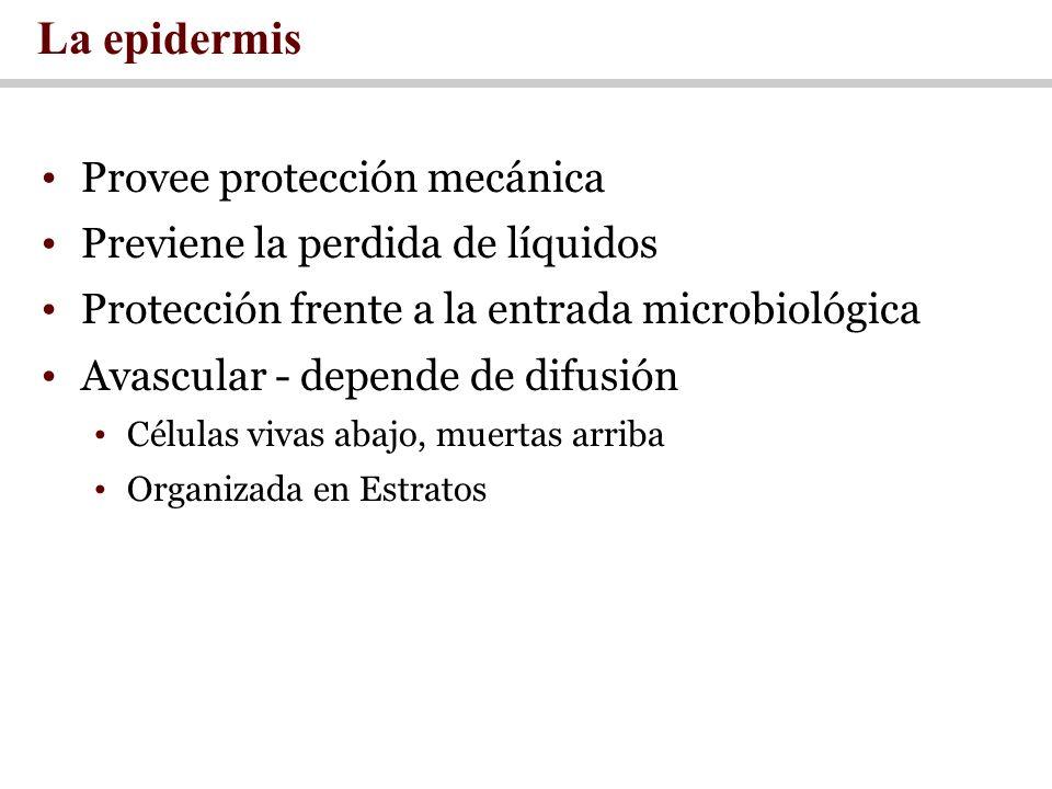 Provee protección mecánica Previene la perdida de líquidos Protección frente a la entrada microbiológica Avascular - depende de difusión Células vivas