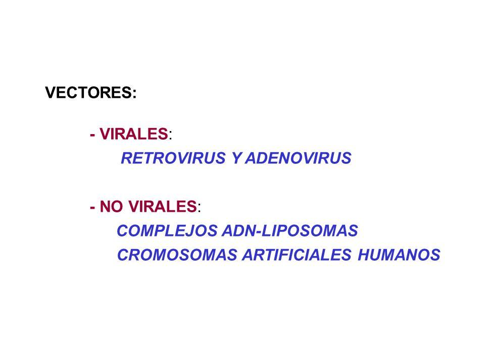 VECTORES: - VIRALES: RETROVIRUS Y ADENOVIRUS - NO VIRALES: COMPLEJOS ADN-LIPOSOMAS CROMOSOMAS ARTIFICIALES HUMANOS