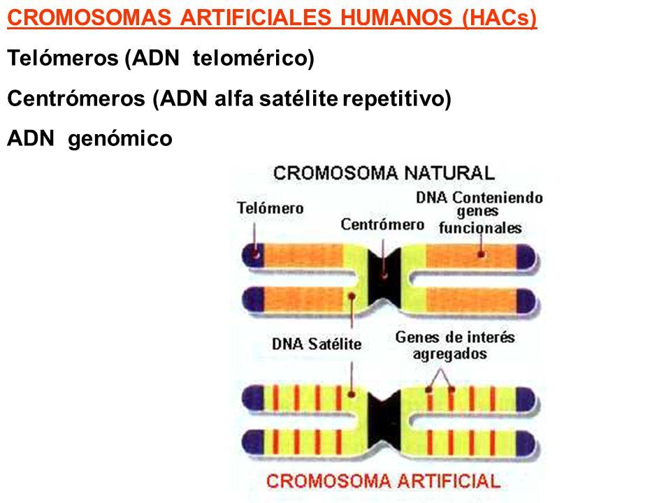 Telómeros (ADN telomérico) Centrómeros (ADN alfa satélite repetitivo) ADN genómico CROMOSOMAS ARTIFICIALES HUMANOS (HACs)