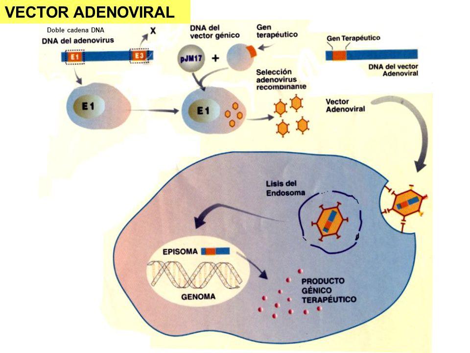 VECTOR ADENOVIRAL Doble cadena DNA