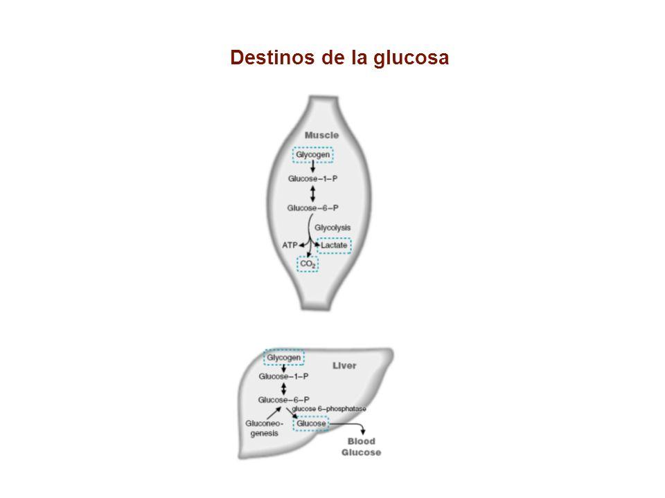 Destinos de la glucosa