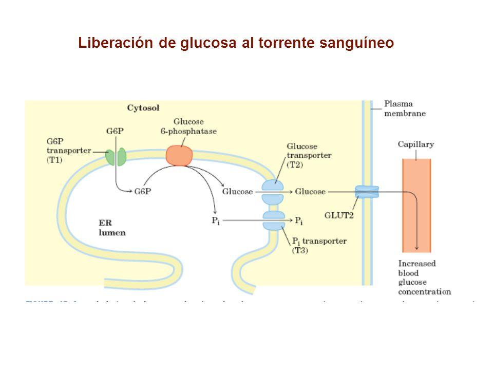 Liberación de glucosa al torrente sanguíneo