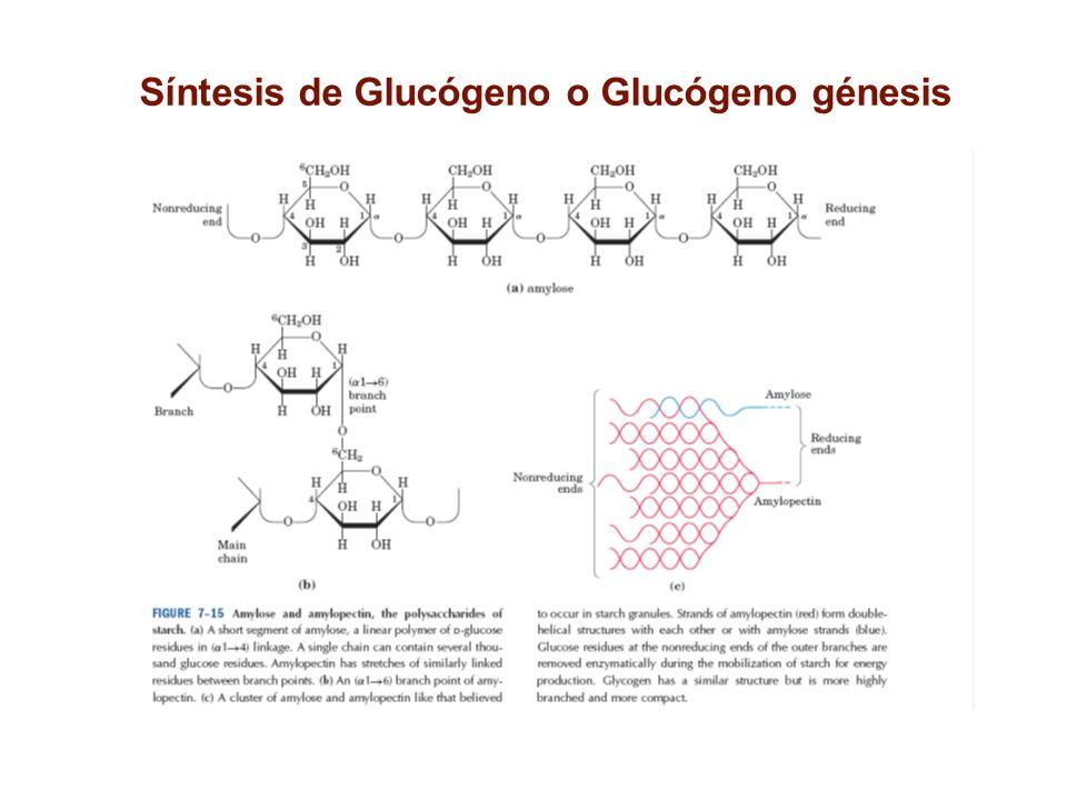Síntesis de Glucógeno o Glucógeno génesis