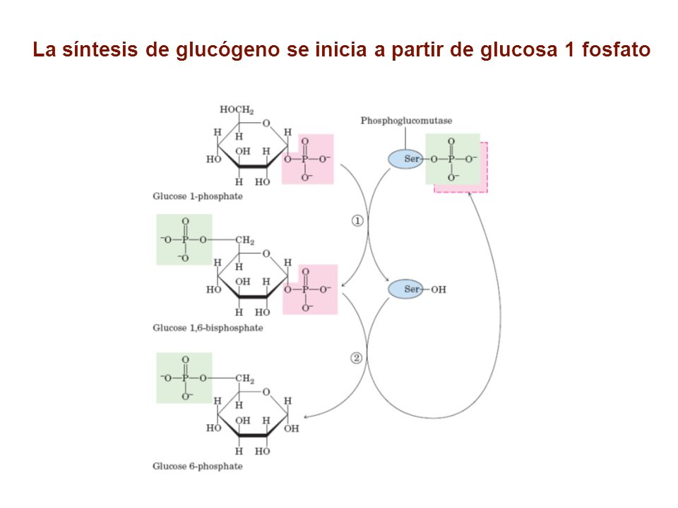 Síntesis de UDP Glucosa