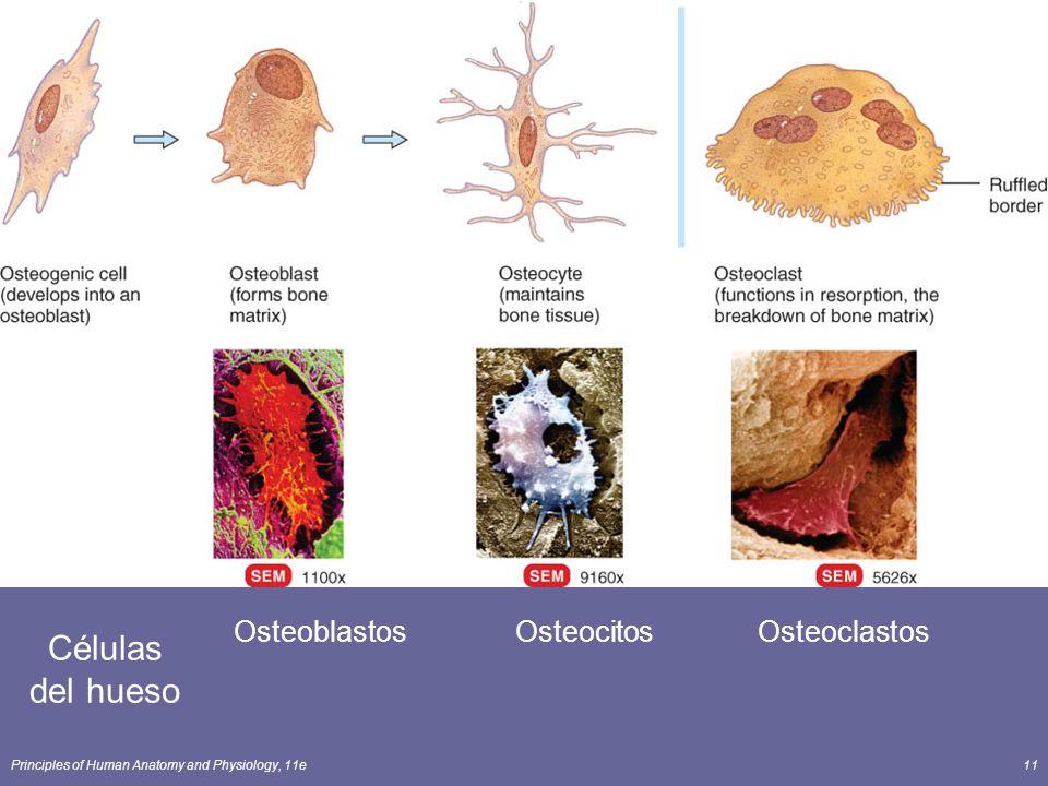 Principles of Human Anatomy and Physiology, 11e11 Células del hueso Osteoblastos OsteocitosOsteoclastos