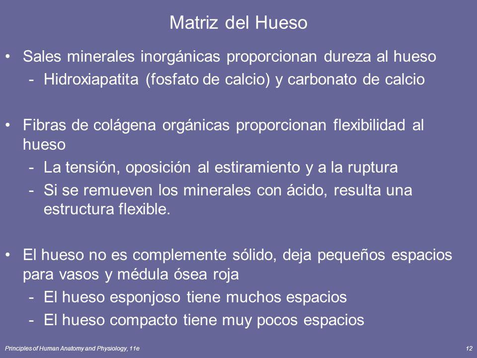 Principles of Human Anatomy and Physiology, 11e12 Matriz del Hueso Sales minerales inorgánicas proporcionan dureza al hueso -Hidroxiapatita (fosfato d