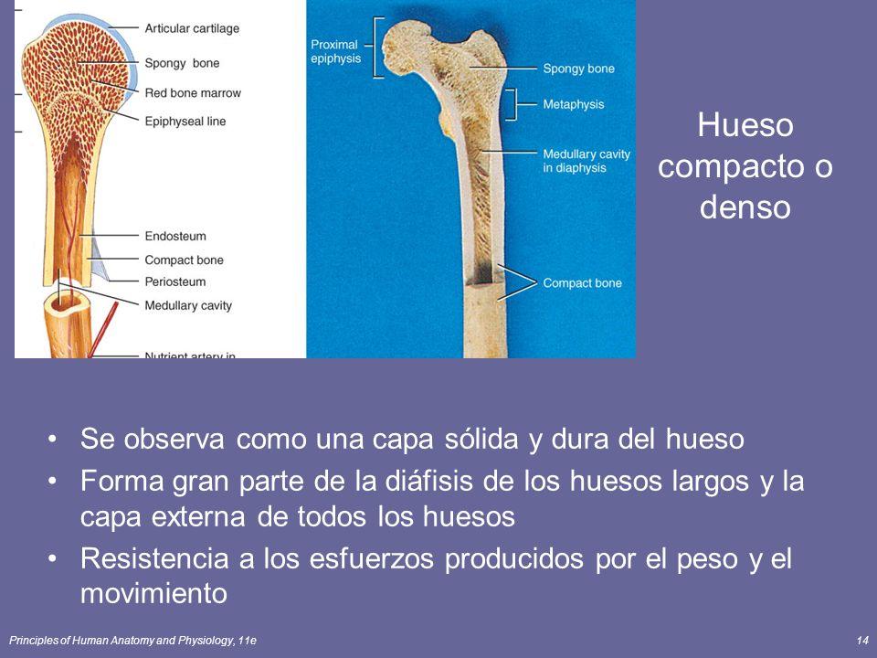 Principles of Human Anatomy and Physiology, 11e14 Hueso compacto o denso Se observa como una capa sólida y dura del hueso Forma gran parte de la diáfi
