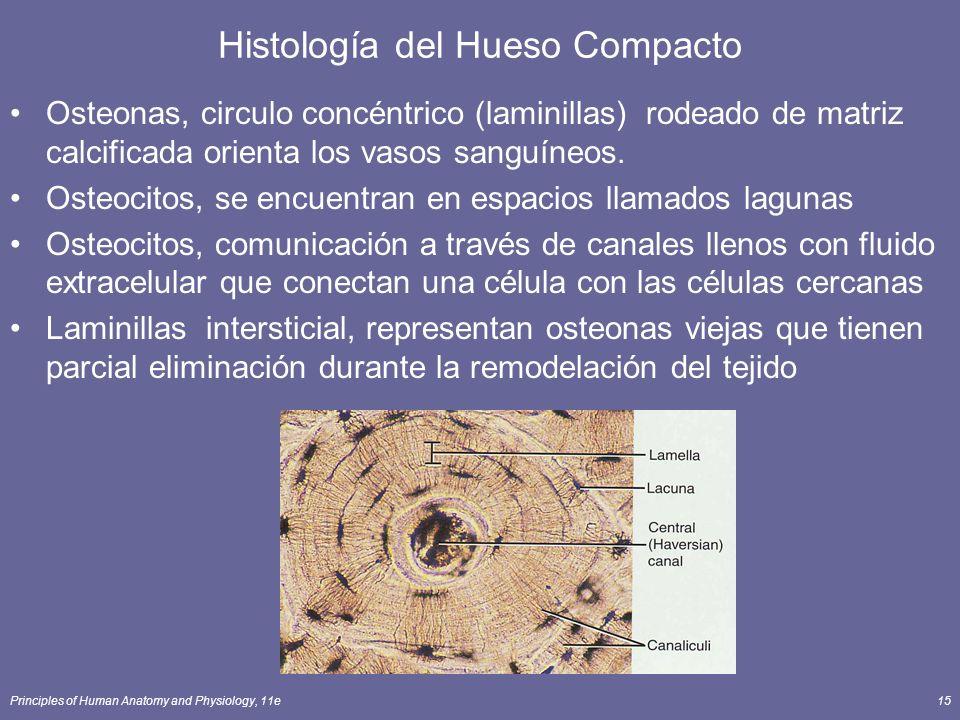 Principles of Human Anatomy and Physiology, 11e15 Histología del Hueso Compacto Osteonas, circulo concéntrico (laminillas) rodeado de matriz calcifica