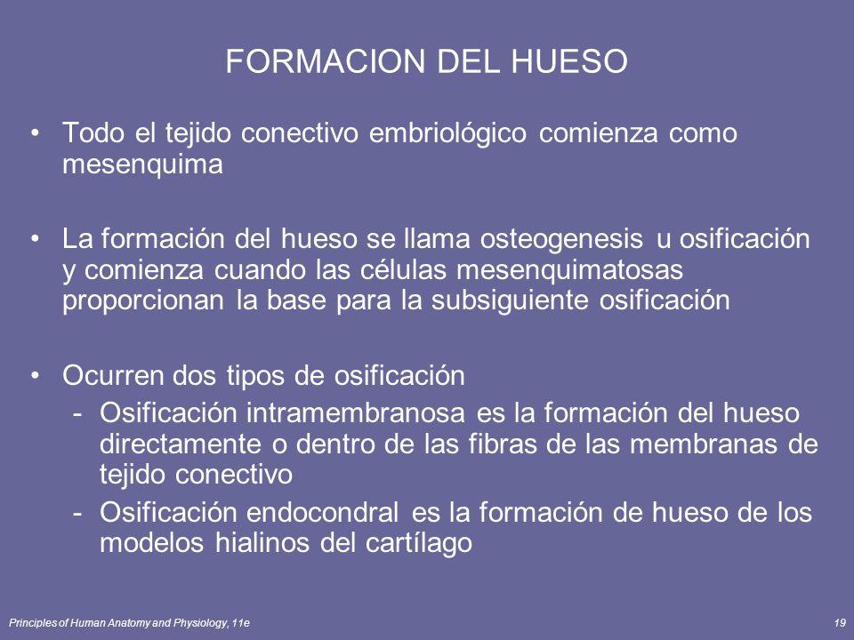 Principles of Human Anatomy and Physiology, 11e19 FORMACION DEL HUESO Todo el tejido conectivo embriológico comienza como mesenquima La formación del