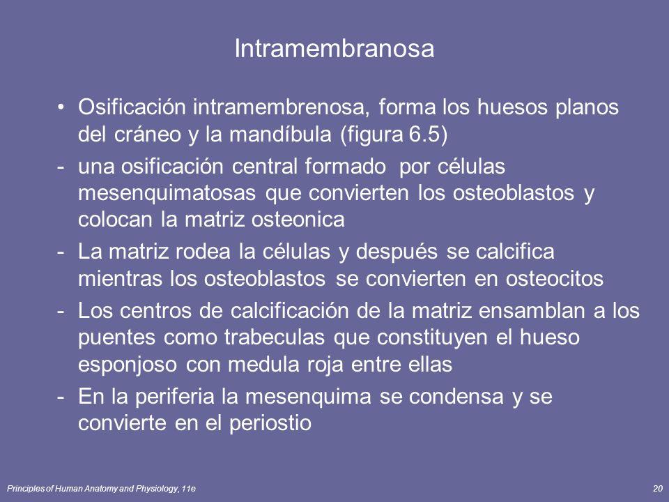 Principles of Human Anatomy and Physiology, 11e20 Intramembranosa Osificación intramembrenosa, forma los huesos planos del cráneo y la mandíbula (figu