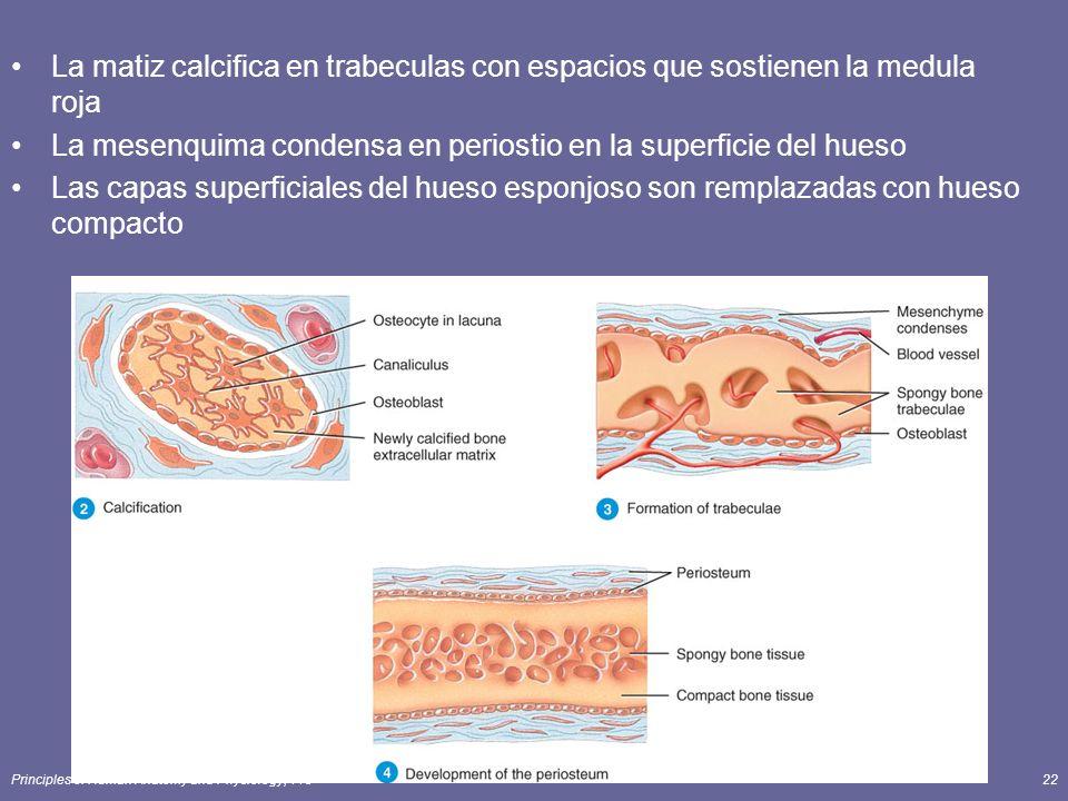 Principles of Human Anatomy and Physiology, 11e22 La matiz calcifica en trabeculas con espacios que sostienen la medula roja La mesenquima condensa en