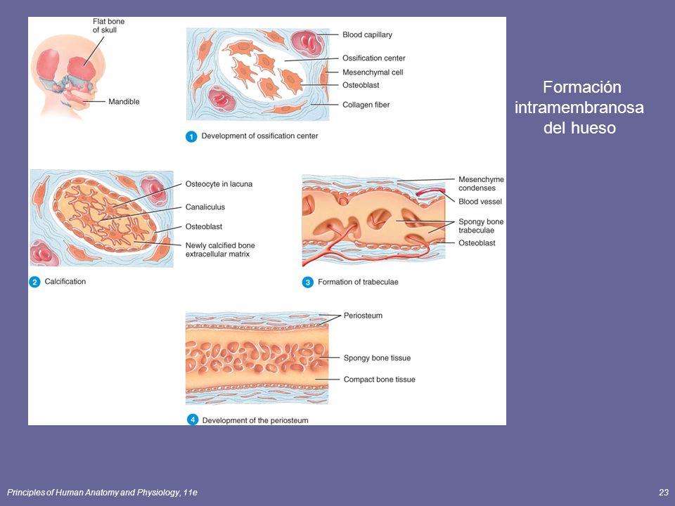Principles of Human Anatomy and Physiology, 11e23 Formación intramembranosa del hueso