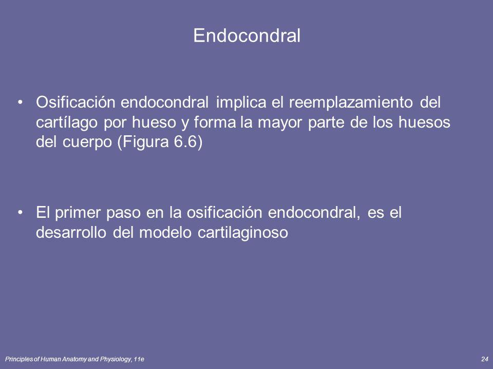 Principles of Human Anatomy and Physiology, 11e24 Endocondral Osificación endocondral implica el reemplazamiento del cartílago por hueso y forma la ma