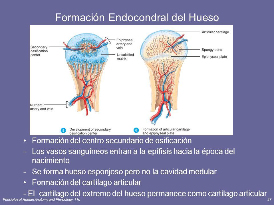 Principles of Human Anatomy and Physiology, 11e27 Formación Endocondral del Hueso Formación del centro secundario de osificación -Los vasos sanguíneos
