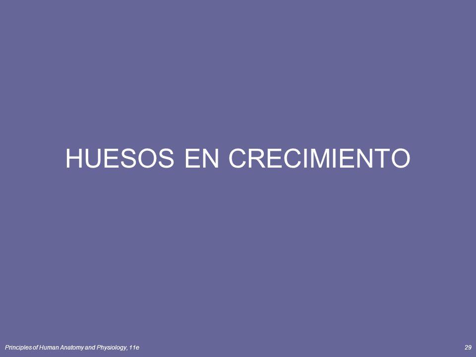 Principles of Human Anatomy and Physiology, 11e29 HUESOS EN CRECIMIENTO
