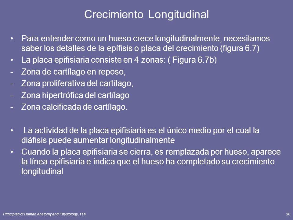 Principles of Human Anatomy and Physiology, 11e30 Crecimiento Longitudinal Para entender como un hueso crece longitudinalmente, necesitamos saber los