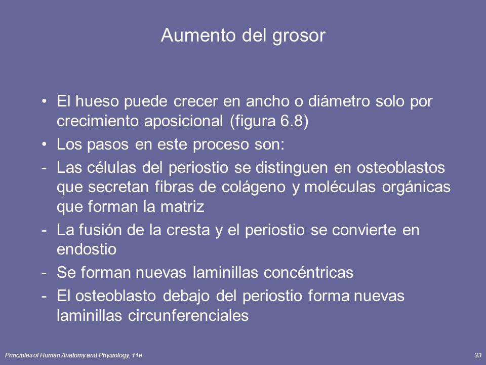 Principles of Human Anatomy and Physiology, 11e33 Aumento del grosor El hueso puede crecer en ancho o diámetro solo por crecimiento aposicional (figur