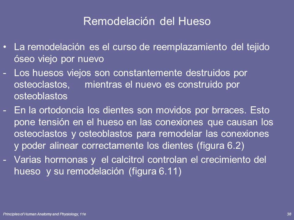 Principles of Human Anatomy and Physiology, 11e38 Remodelación del Hueso La remodelación es el curso de reemplazamiento del tejido óseo viejo por nuev