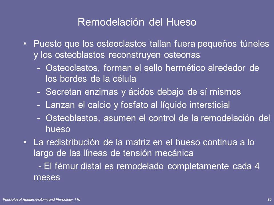 Principles of Human Anatomy and Physiology, 11e39 Remodelación del Hueso Puesto que los osteoclastos tallan fuera pequeños túneles y los osteoblastos