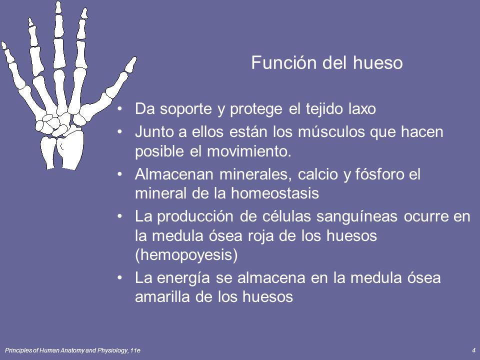 Principles of Human Anatomy and Physiology, 11e4 Función del hueso Da soporte y protege el tejido laxo Junto a ellos están los músculos que hacen posi
