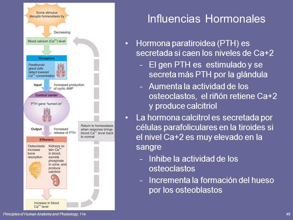 Principles of Human Anatomy and Physiology, 11e49 Influencias Hormonales Hormona paratiroidea (PTH) es secretada si caen los niveles de Ca+2 -El gen P