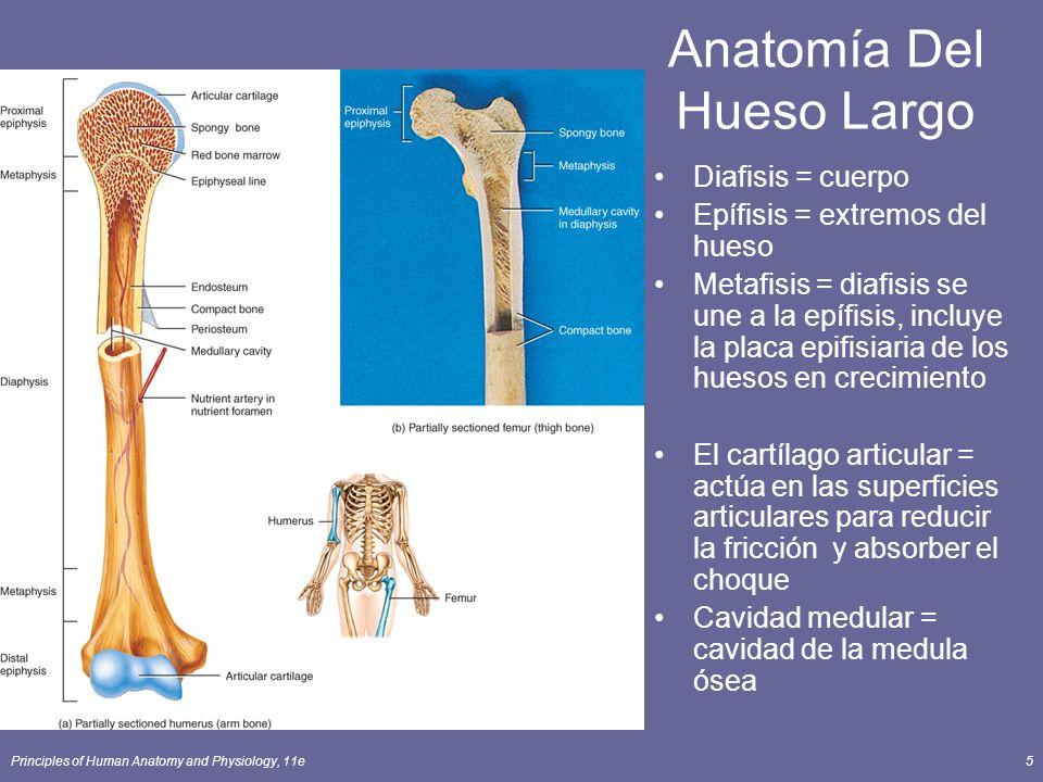 Principles of Human Anatomy and Physiology, 11e5 Anatomía Del Hueso Largo Diafisis = cuerpo Epífisis = extremos del hueso Metafisis = diafisis se une