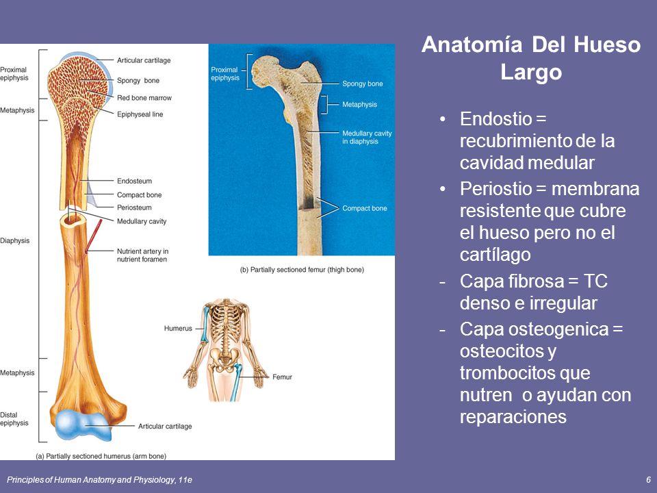 Principles of Human Anatomy and Physiology, 11e6 Anatomía Del Hueso Largo Endostio = recubrimiento de la cavidad medular Periostio = membrana resisten