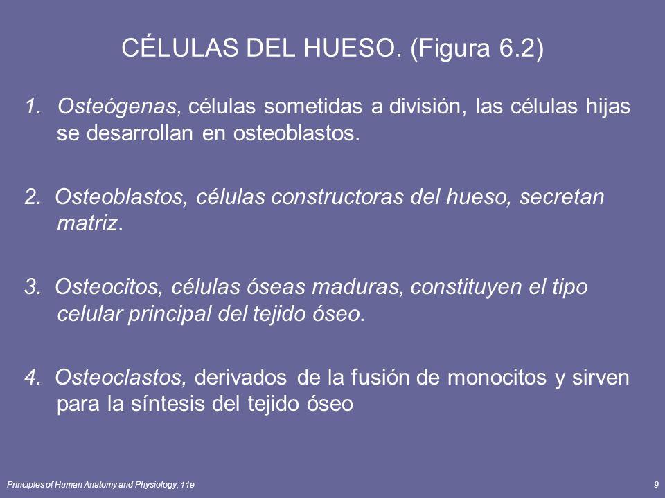 Principles of Human Anatomy and Physiology, 11e9 CÉLULAS DEL HUESO. (Figura 6.2) 1.Osteógenas, células sometidas a división, las células hijas se desa