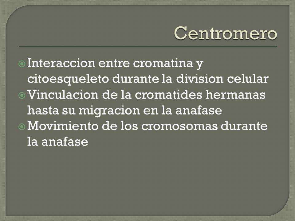 Interaccion entre cromatina y citoesqueleto durante la division celular Vinculacion de la cromatides hermanas hasta su migracion en la anafase Movimie