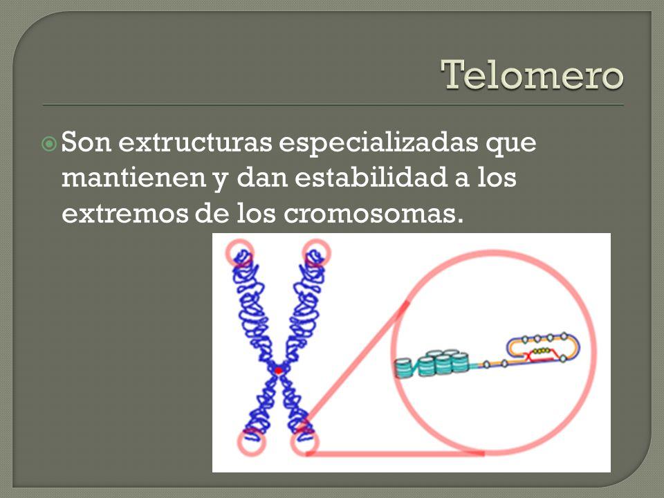 Son extructuras especializadas que mantienen y dan estabilidad a los extremos de los cromosomas.