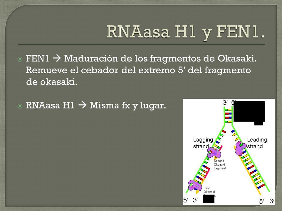 FEN1 Maduración de los fragmentos de Okasaki. Remueve el cebador del extremo 5 del fragmento de okasaki. RNAasa H1 Misma fx y lugar.
