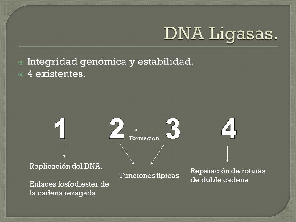 Integridad genómica y estabilidad. 4 existentes. Formación Replicación del DNA. Enlaces fosfodiester de la cadena rezagada. Reparación de roturas de d